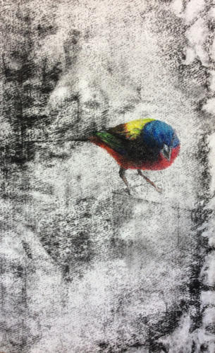 Painted Bunting 2 by Terre Rybovich, 2016. Charcoal and pastel on paper. 23x15.